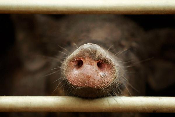 Напожаре вСараевском районе погибли полторы тысячи свиней